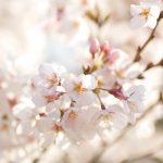 さくら,春,お別れ会,
